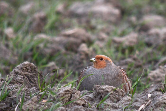 V Maďarsku byla povolena introdukce orebic. Ornitologové varují, že to může mít zničující dopad na místní koroptve