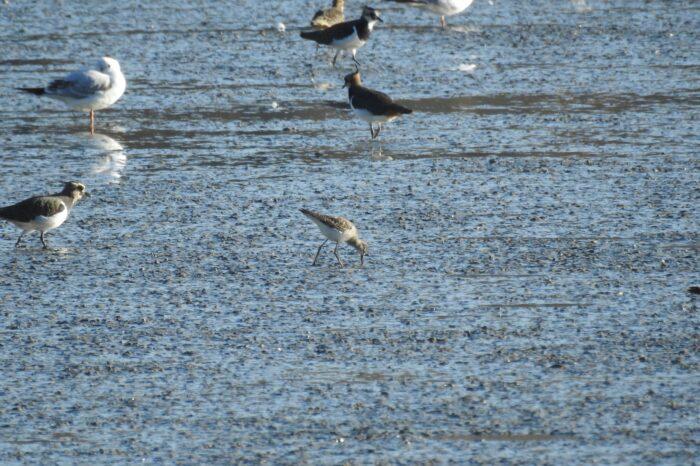 Ptačím druhem číslo 400 v České republice je vodouš žlutonohý