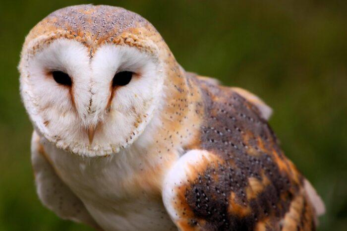 Ornitologové se pokoušejí o návrat sovy pálené na Klatovsko
