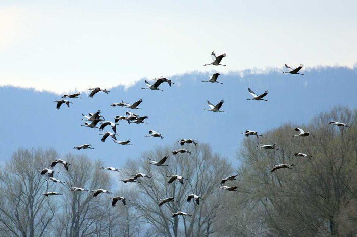 Jeřábi popelaví si oblíbili zimní krajinu Pardubicka