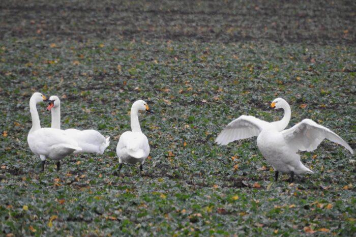 První pozorování labutě malé v Pardubickém kraji