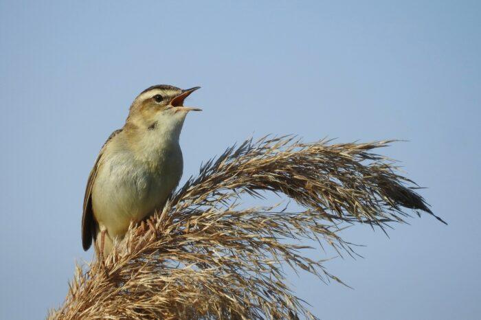 Co ovlivňuje výšku tónu ptačího zpěvu? Vědci zpochybnili tradiční hypotézu