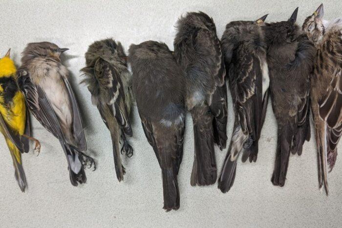 Za masivními úhyny ptáků na podzim 2020 v USA stojí patrně klimatické změny