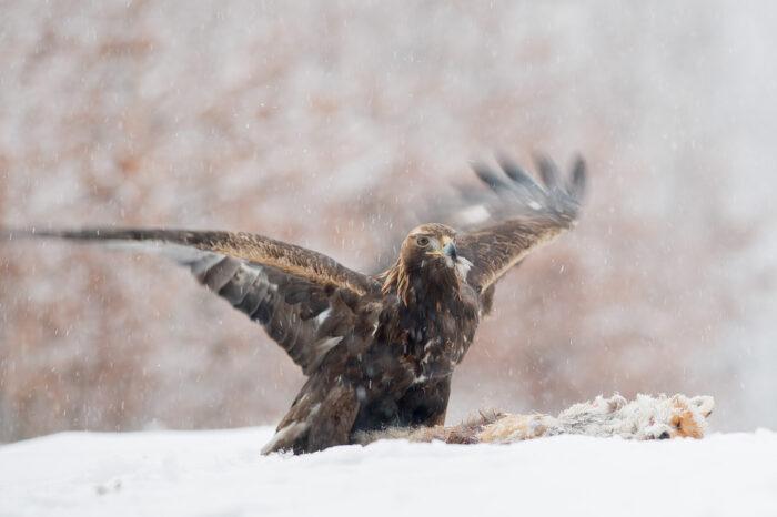 Je kontrastní zbarvení mladých orlů skalních znakem dominance?