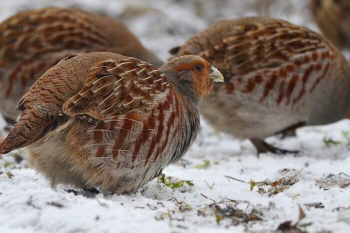 Jak lze pomoci v zimě koroptvím?