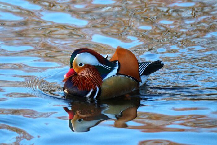 Svět sčítal vodní ptáky