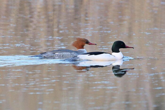 Mezinárodní sčítání vodních ptáků 2021 je již za dveřmi