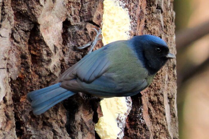 Melanistická sýkora modřinka byla opět pozorována v Přerově