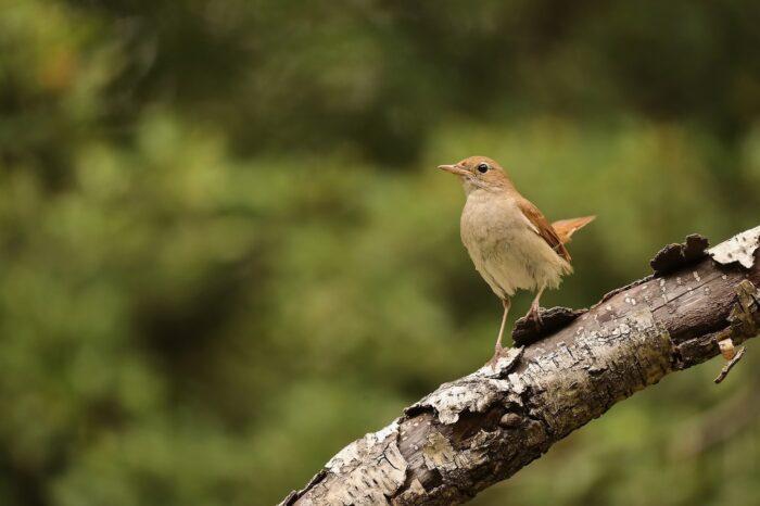 Klimatická změna zkracuje slavíkům křídla