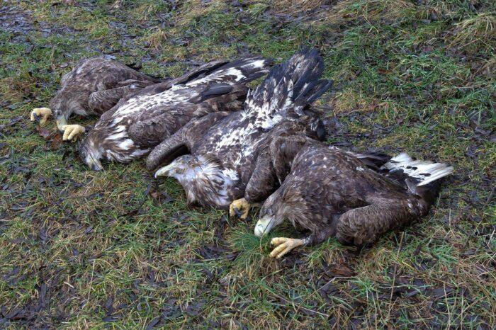 Na Klatovsku někdo otrávil čtyři orly mořské