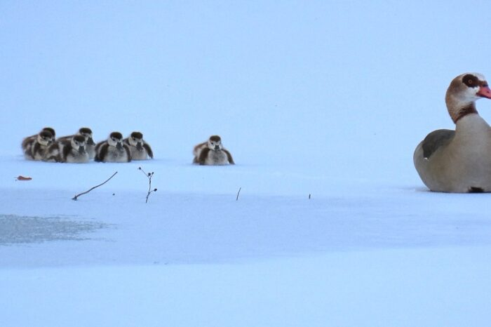 Hnízdění husice nilské v zimě na Olomoucku