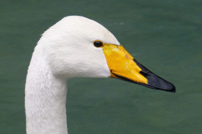 Rekordní počty labutí zpěvných v Irsku