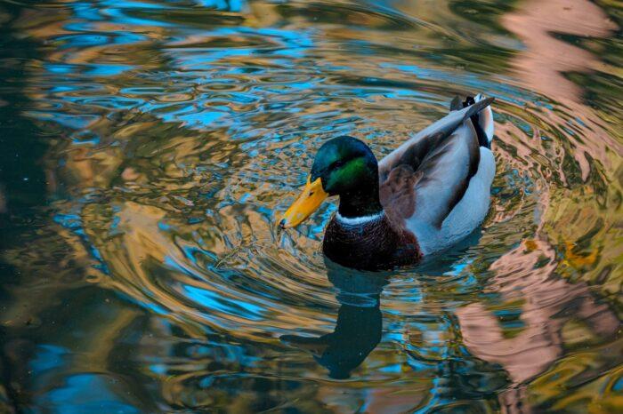 Lednové sčítání vodních ptáků přineslo v NP Podyjí rekordní výsledky