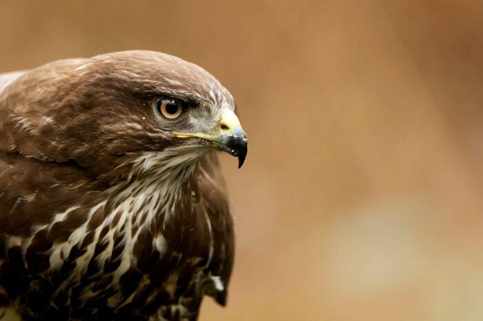 Káně lesní ptákem roku 2021: častá oběť otrav a sloupů vysokého napětí