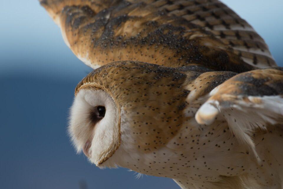 Slezská ornitologická společnost vyhlásila ptákem roku sovu pálenou. Pomoci můžete i vy!