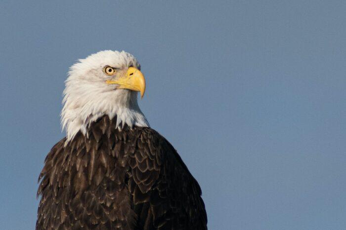 Čeští vědci pomohli objasnit nevyjasněné úhyny orlů bělohlavých v USA