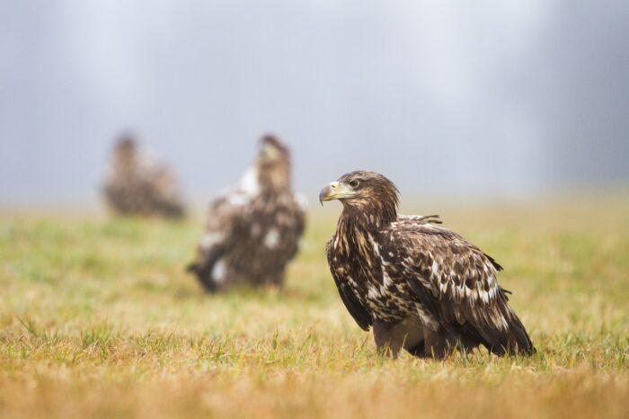 Výsledky 4. ročníku Mezinárodního sčítání orlů v Pannonské oblasti