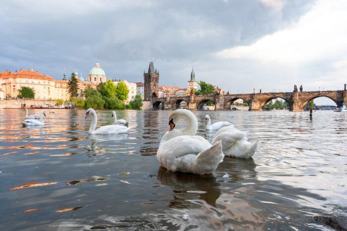 Jak jsou na tom pražské labutě? Zapojte se do jejich sčítání!