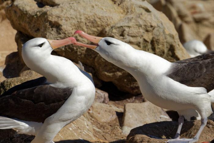 Drony pomáhají vědcům studovat kolonie mořských ptáků