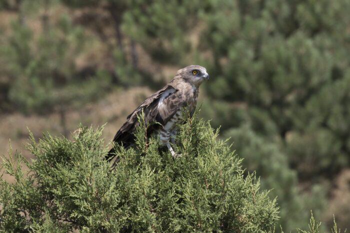 Vzácný orlík krátkoprstý postřelen na Slovensku