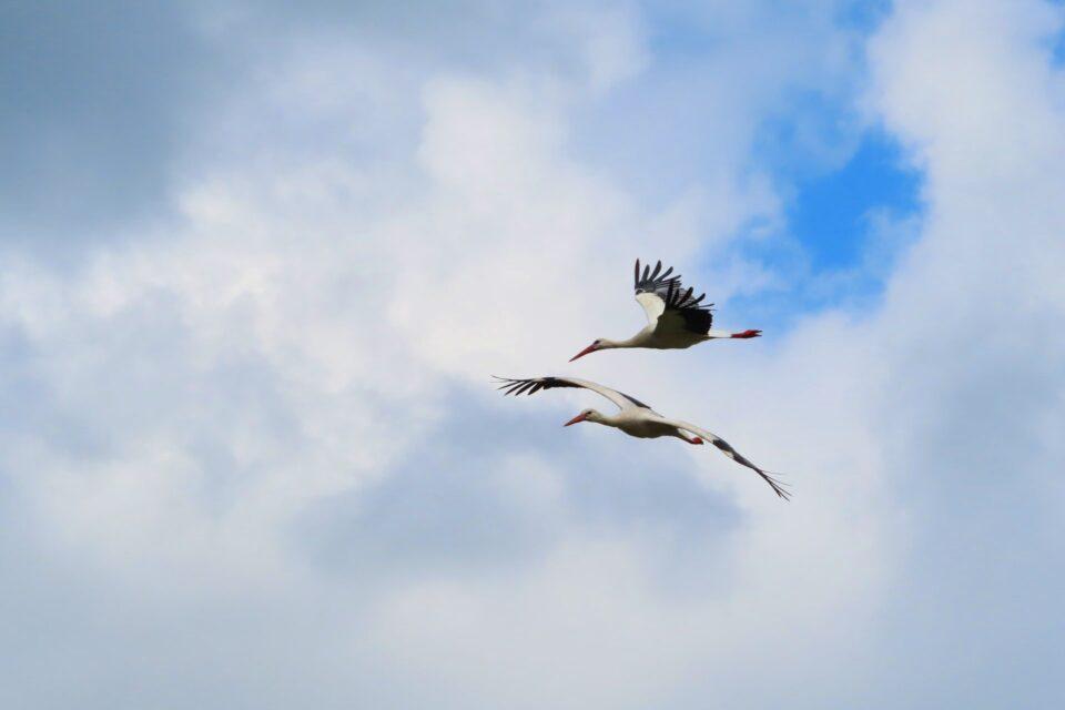 Čápi bílí se vracejí k Třesickému rybníku