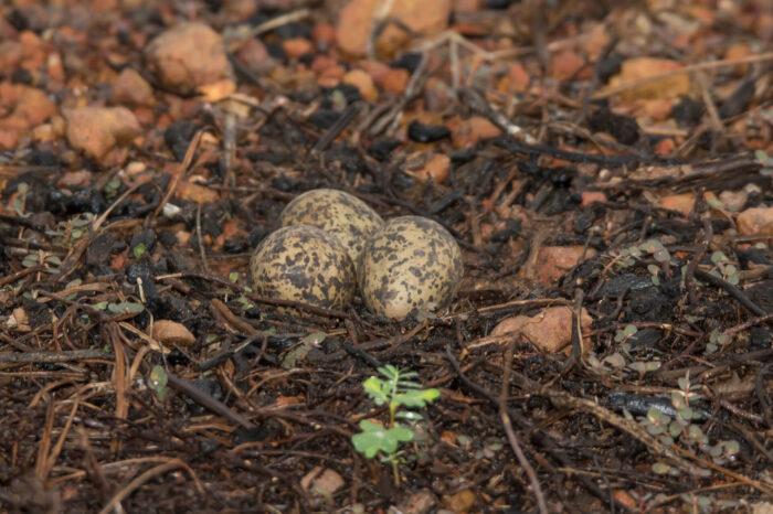 Projevuje se u ptáků antipredační chování už ve vejcích?
