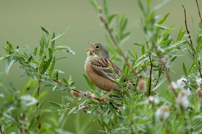 Prospívá ptákům pastva velkých býložravců?